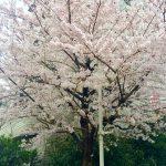 桜の季節には「花見釣り」がおすすめ!! 〜第二弾〜